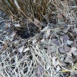 hedgehog nest  site