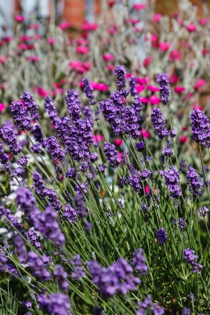 lavender, pink