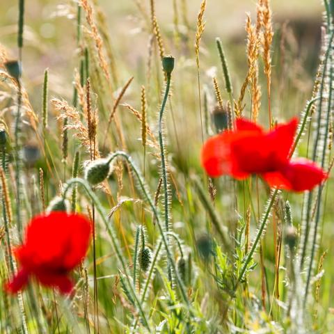poppies, wildflowers