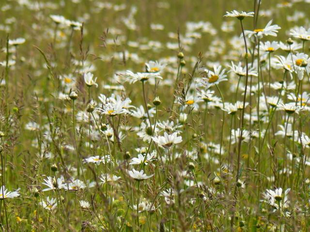 daisies, wildflowers