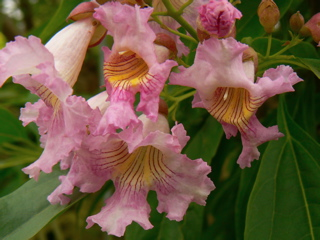 Flowering trees. Chitalpa tashkentensis